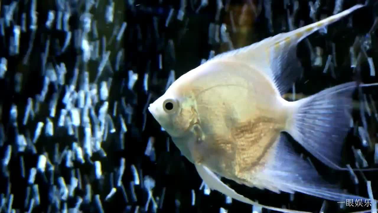 一只白色神仙鱼漂游在喷泉水中,姿态优美飘逸,真是好看啊