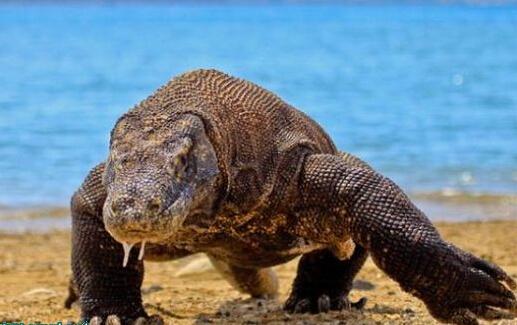 #科莫多龙#世界上体型最大蜥蜴—科莫多巨蜥猎食羚羊,凶残的咬合力超70磅