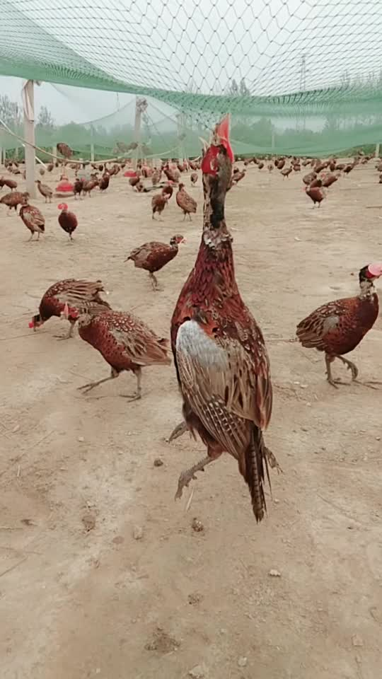 #学会上网的鸡#学会上网的鸡,没想到会这么惨,命都搭进去了!