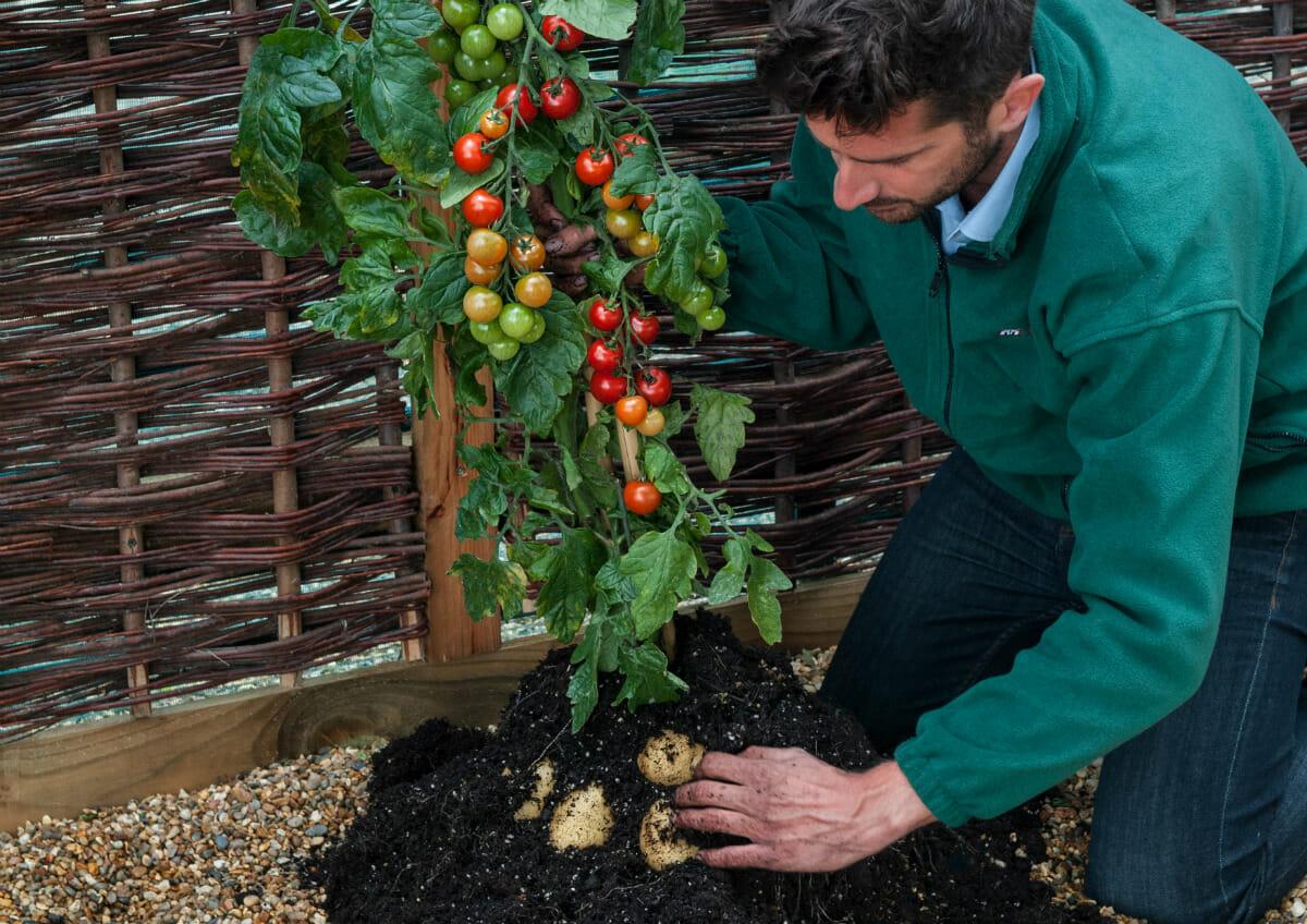 英国奇异农作物 上生番茄下长马铃薯