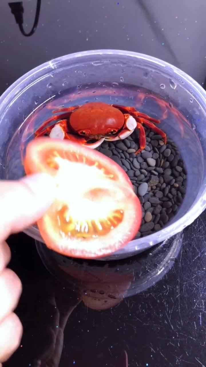 #小螃蟹#在说一次,我是活的小螃蟹,不是煮熟的!