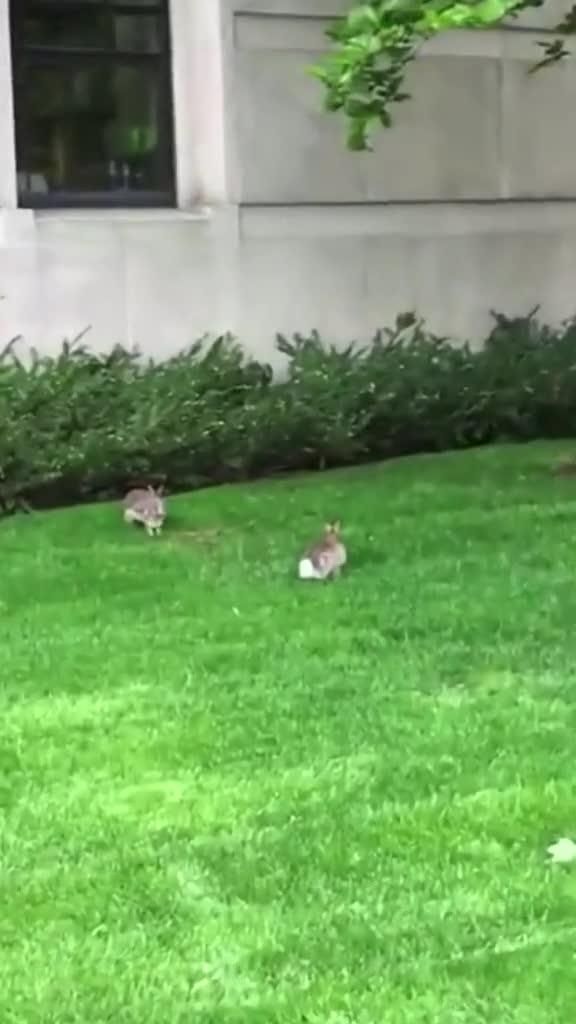 #疯狂的兔子#谁知道这两兔子在干嘛呀