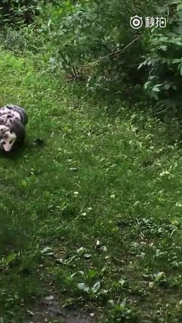 一只北美负鼠妈妈身上背着12只小负鼠,在外面散步!