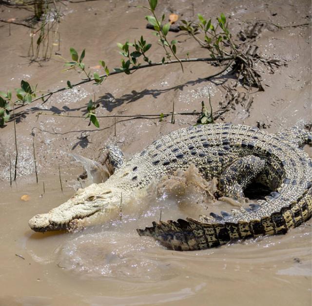 澳大利亚阿德莱德河域发现罕见白色鳄鱼