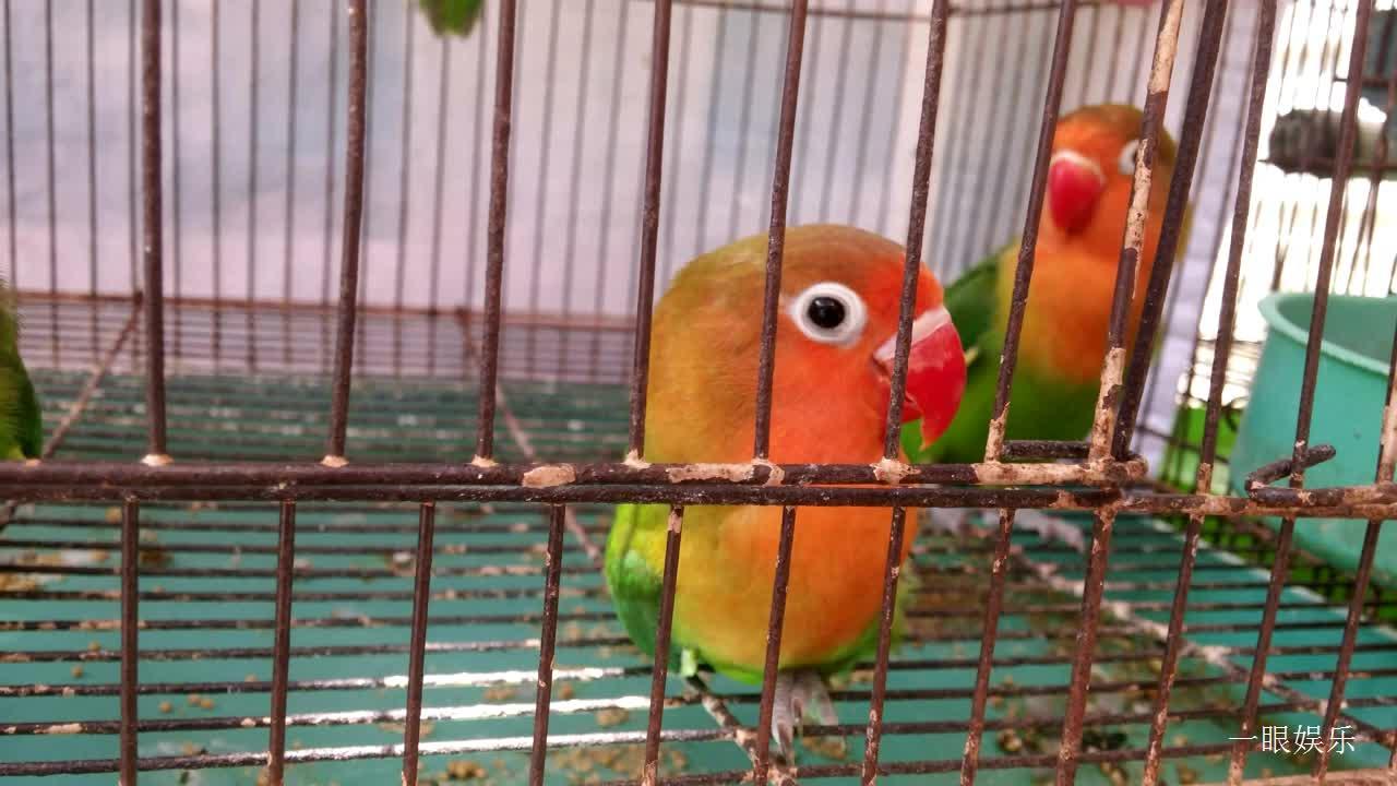 红嘴鹦鹉在张头张脑,萌萌的样子,蛮可爱蛮有趣