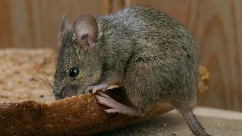 #驱鼠小窍门#老鼠最怕它,把它放墙角,老鼠来一只逮一只,家里再也没有老鼠了