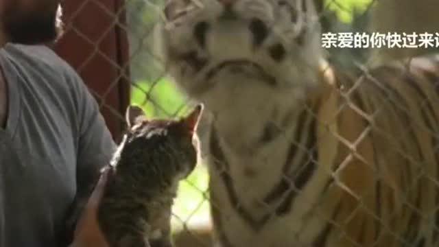 一只小猫跟着主人去动物园看老虎,好像发现了了不起的事情