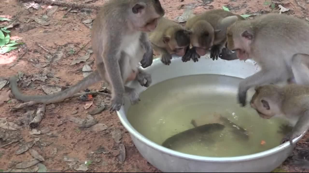 猴子没有见过鱼,它们见了都挺好奇的
