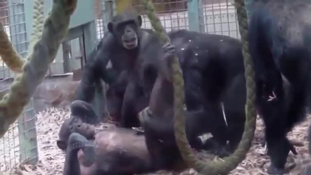 猴子搞笑恶作剧,动物也会玩这一手啊!