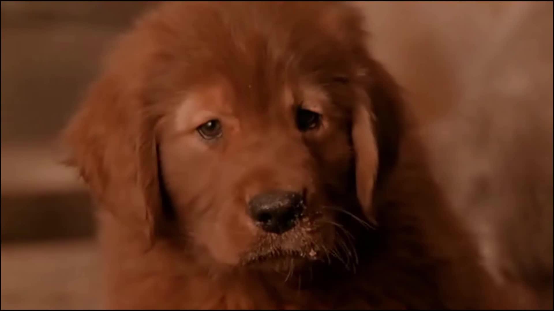 #经典看电影#几分钟看完《再世人狗缘》男子投胎变成狗,回到了家人身边