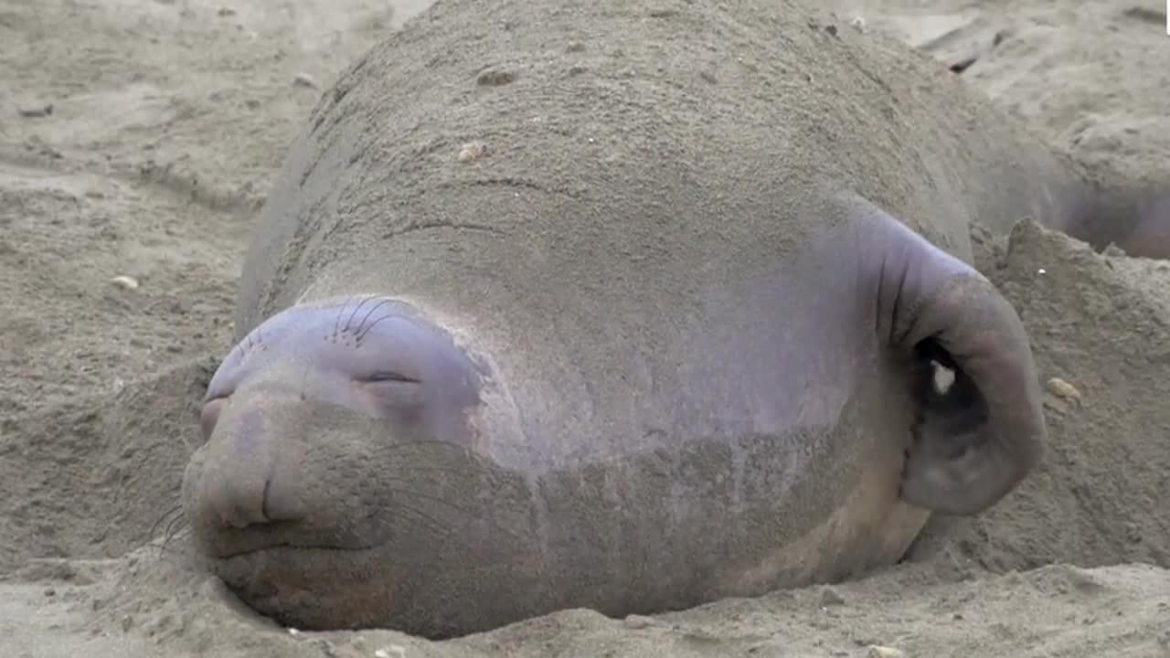象海豹带着迷之笑容睡觉, 还会自己挠痒痒!