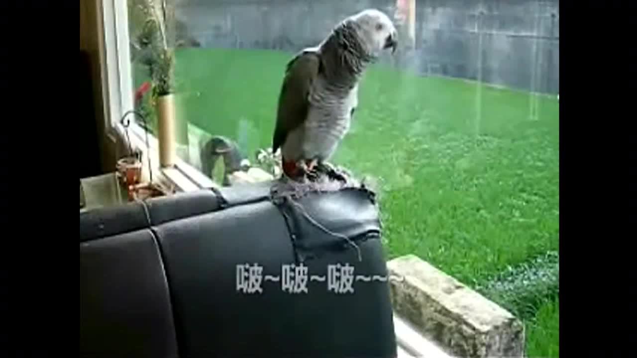 主人不在家,鹦鹉把主人的秘密都说出来了