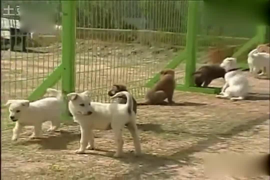 韩国的小狗都长这样,真是太可爱了?