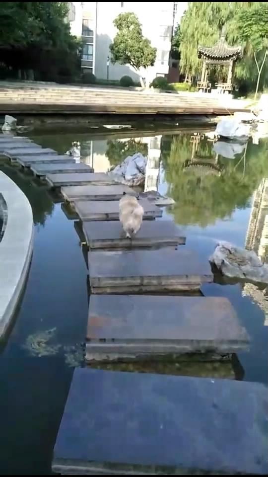 狗狗的前两次跳跃非常完美,最后一次狗失前蹄了
