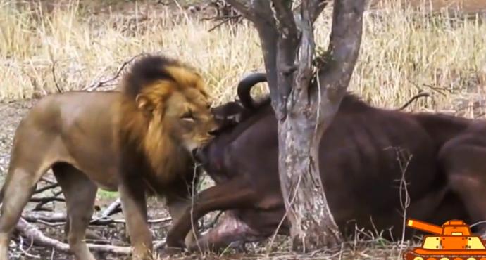伟大的母亲, 水牛阻止雄狮猎食小牛, 被雄狮一口咬住喉咙