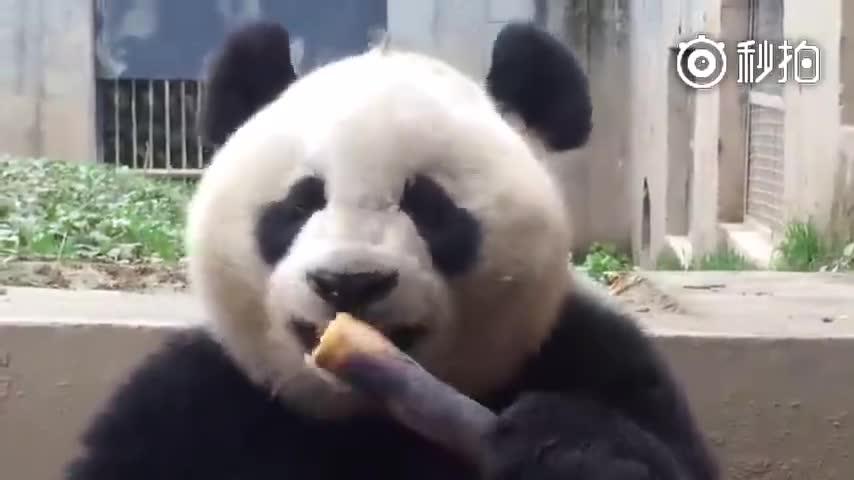熊猫吃甘蔗的样子,嘎嘣脆,真过瘾!