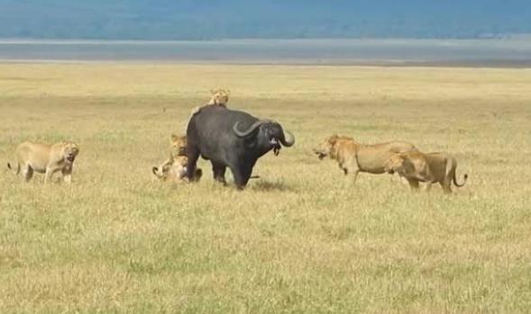 群狮猎食落单的水牛,即使水牛百般挣扎,仍未逃脱被猎杀的命运