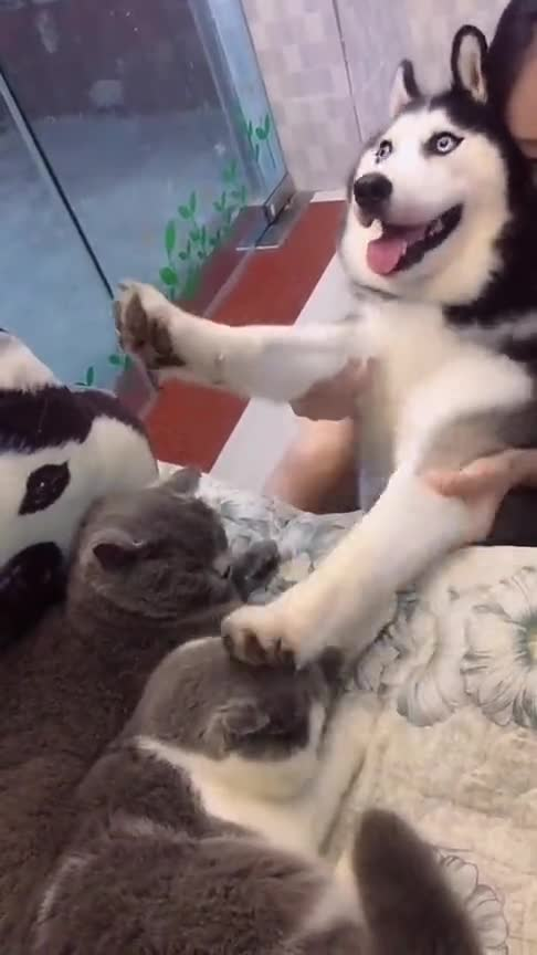 #萌宠#控制着二哈来敲猫猫们的头,狗子的眼神都不敢与猫接触