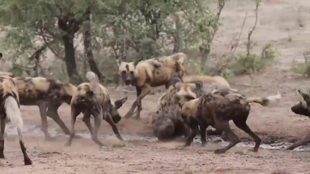 """""""非洲二哥""""也有害怕的时候 野狗围攻鬣狗 吓得鬣狗不站起来"""