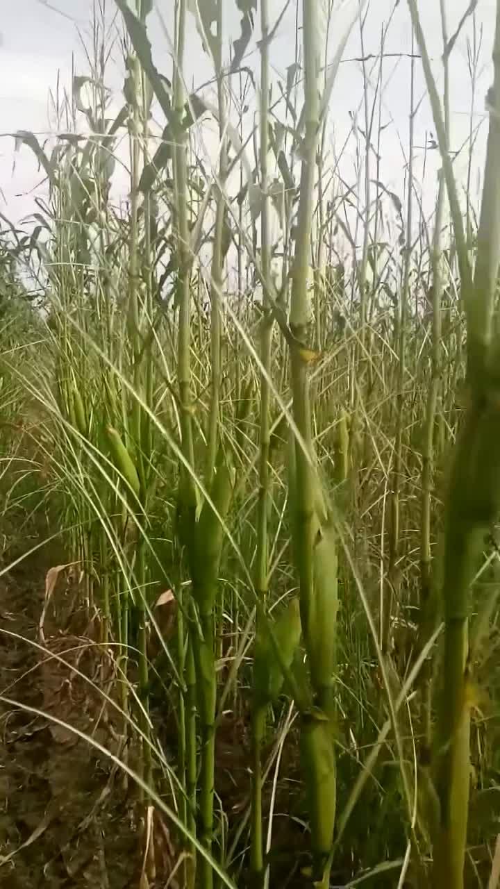 #玉米地#玉米地被蝗虫吃的就剩玉米秆了,农民没活路了!