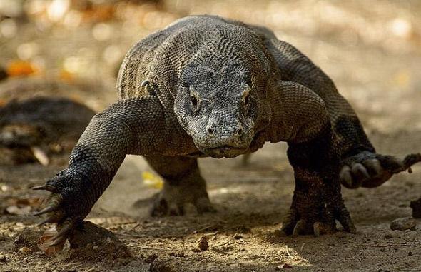 #科莫多龙#世界上最大的蜥蜴—科莫多龙用自身的生化武器毒死的水牛