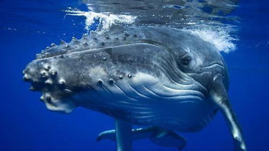 #鲸鱼之歌#美妙的鲸鱼之歌,这是两头鲸鱼在表白呢吗