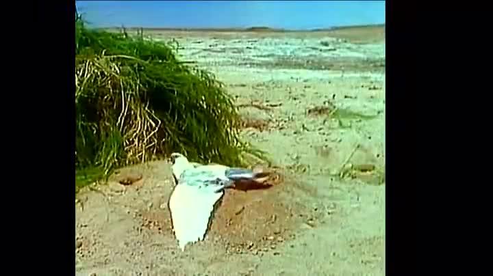 老鹰抓到一只鸽子,不料地底下突然伸出一双大手