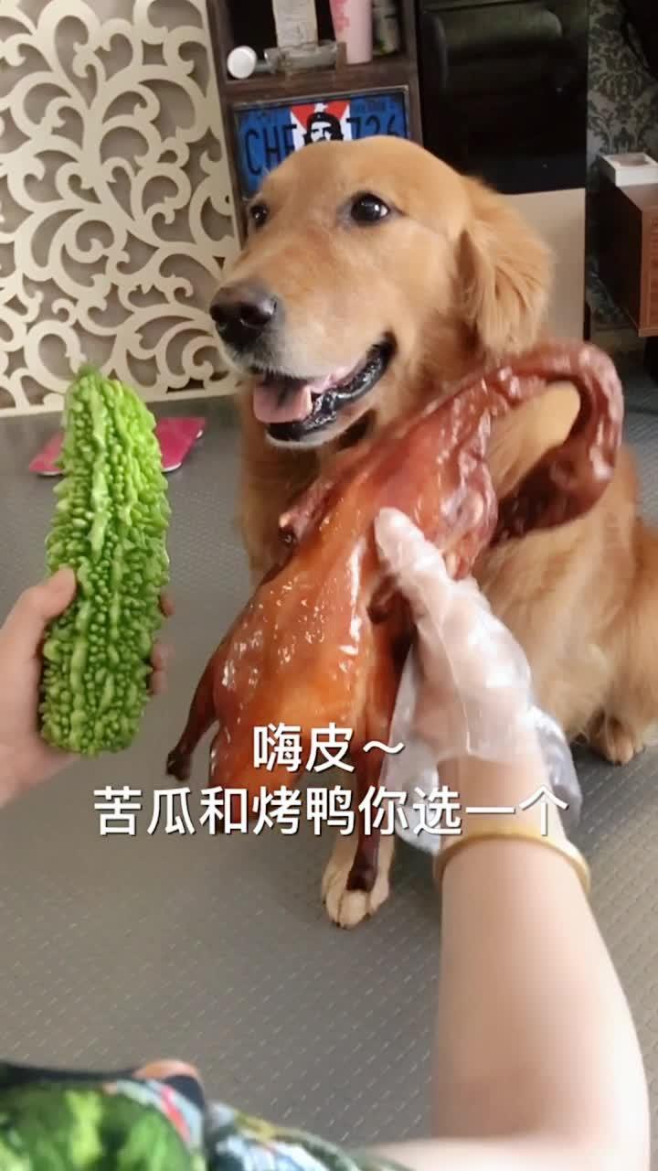 #搞笑趣事#烤鸭VS苦瓜,看二哈的选择,纯种的哟