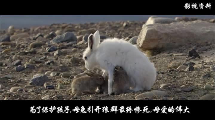 为保护孩子,母兔不顾生命危险引开狼群,最终惨死在群狼之下