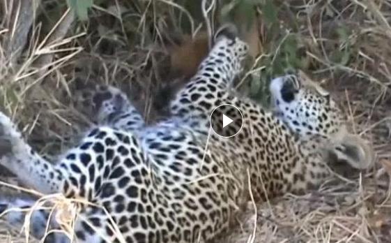 花豹巧遇一只羚羊, 下一刻花豹的表情让你好无语