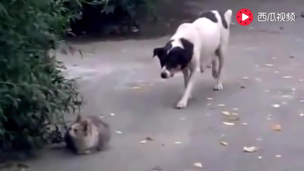 老猫能把狗打的怀疑狗生,却被一只大公鸡给打败了,真丢猫脸
