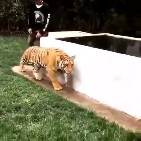 老外溜到虎园吓老虎,差点把老虎吓死,哈哈,这是什么感觉