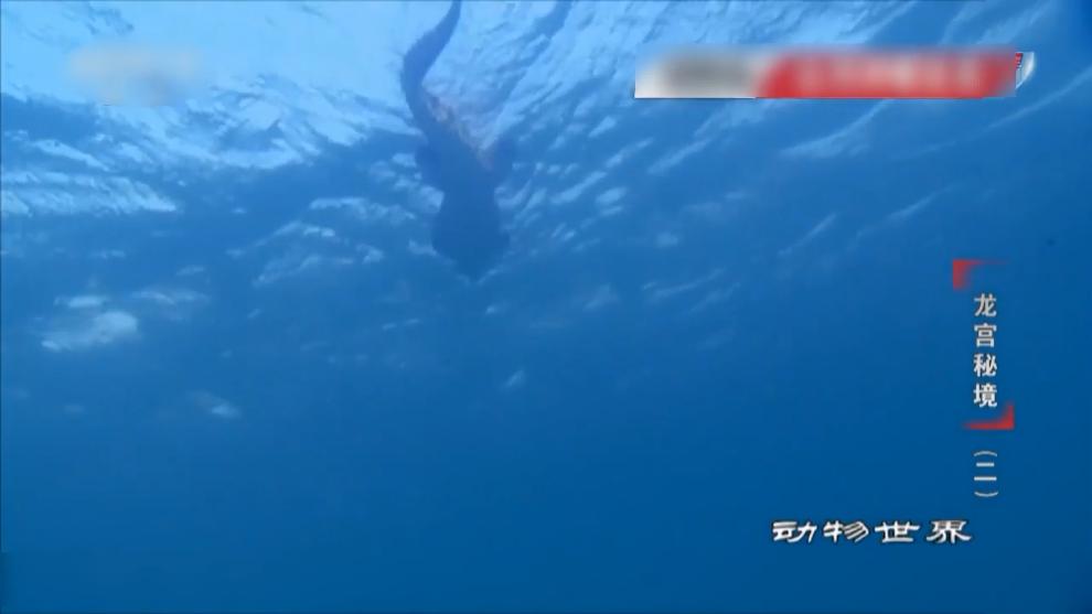 鳄鱼游到了鲨鱼的地盘,被鲨鱼盯上了