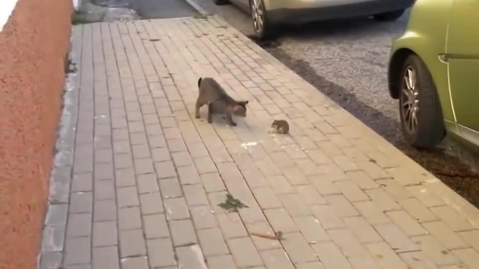 """现实版""""猫和老鼠"""" 猫族的脸都让它给丢尽了!"""