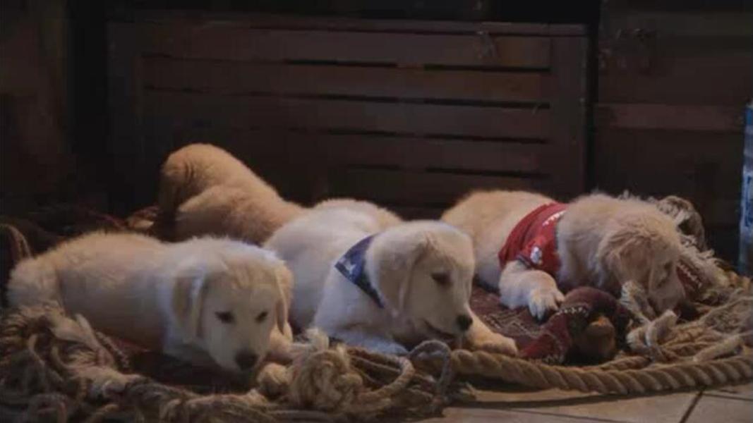 #经典看电影#五只金毛犬因贪吃被送到了北方,没想到还被邀请组成了一支雪橇队