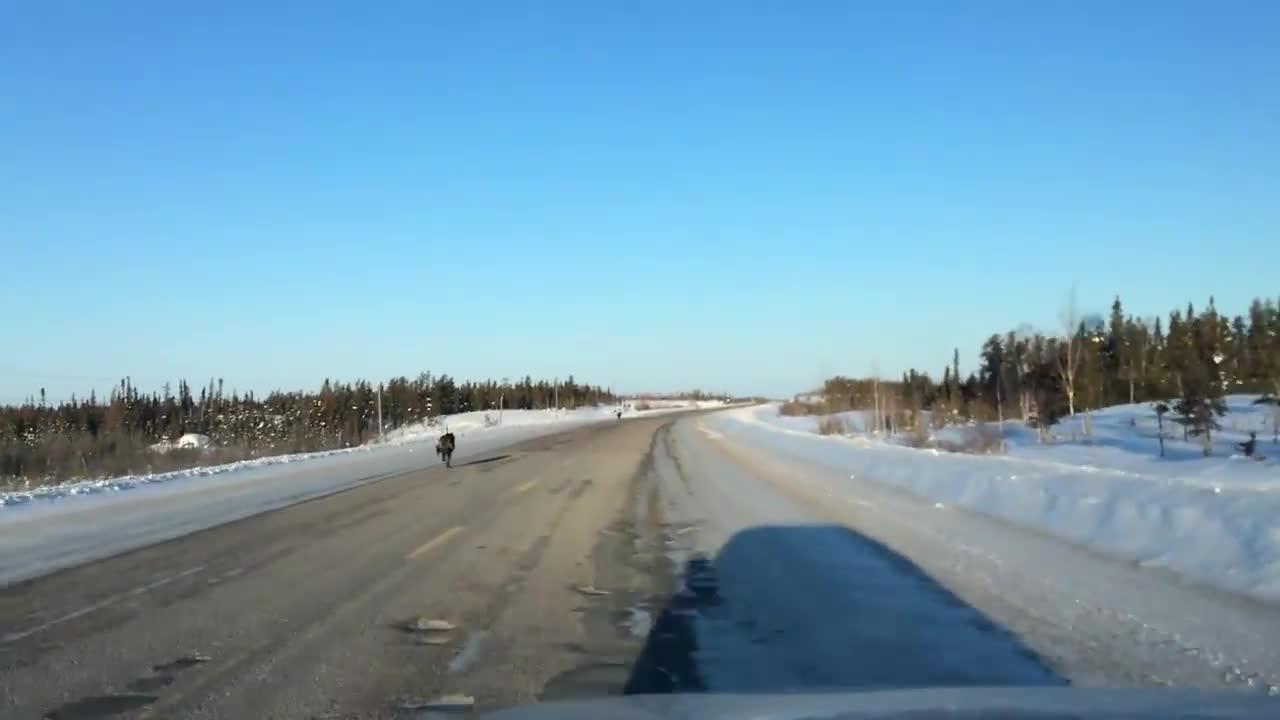 公路上开车与狼一起奔跑