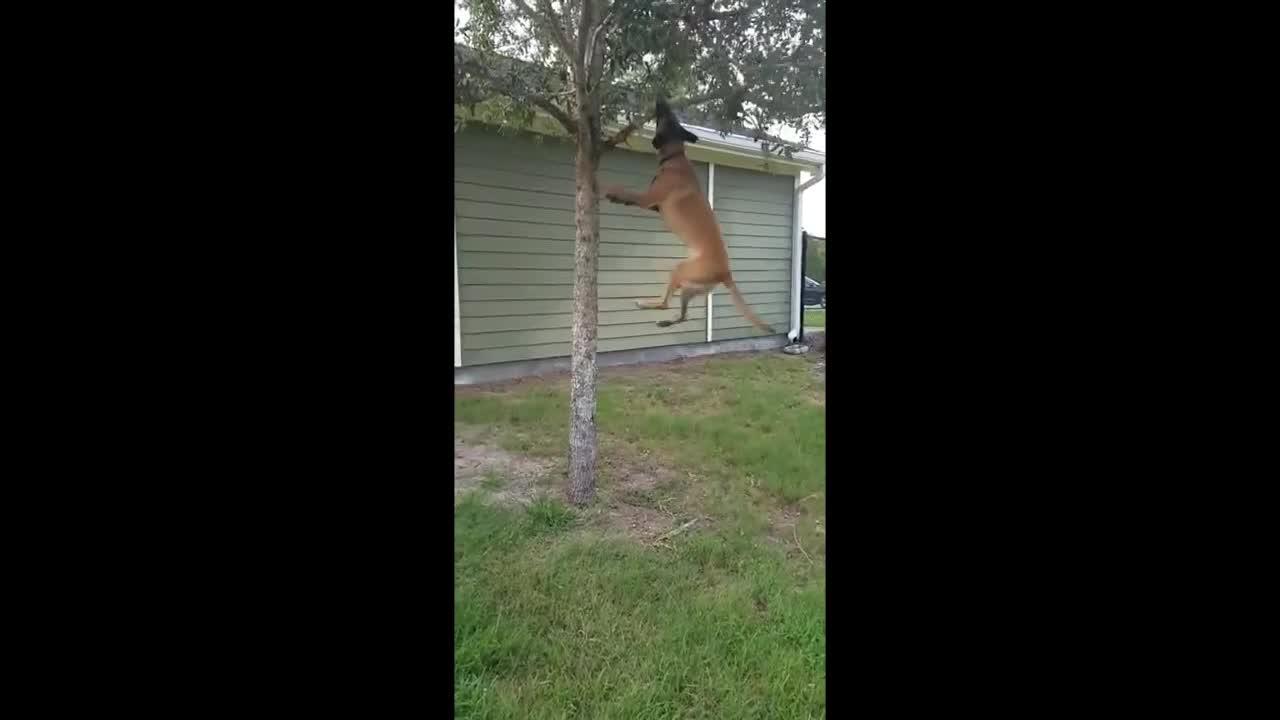 一只擅长单杠运动的狗狗!