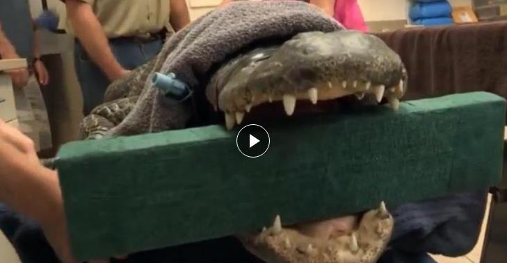 看医生是怎么给鳄鱼做手术的