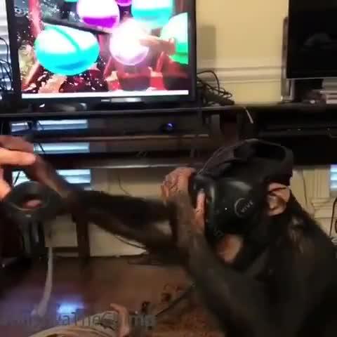 给黑猩猩玩虚拟现实游戏