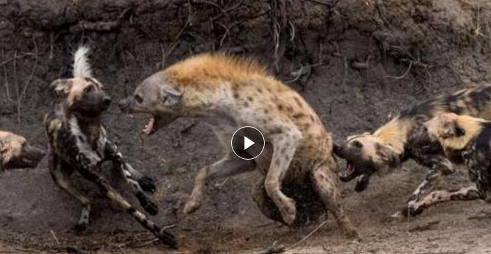 史诗般的战斗! 鬣狗单枪匹马冲进野狗群抢夺食物