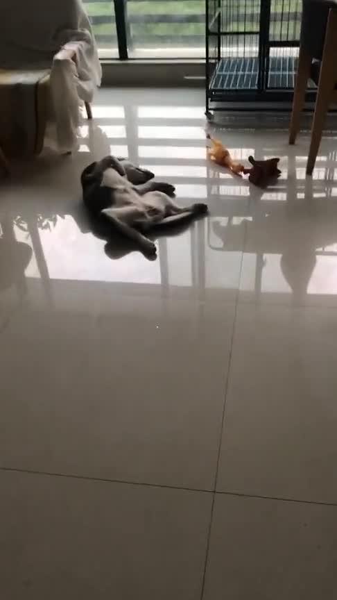 #动物#我家这二狗子,天天就知道睡觉!