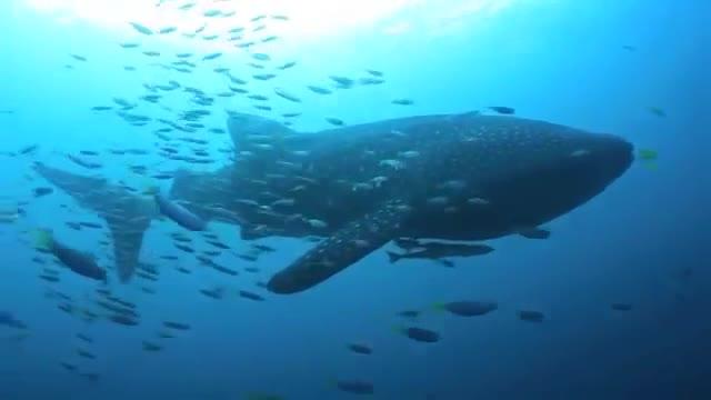 #鲸鲨,鲸鲨玩脱了#潜水员拯救陷近渔网的鲸鲨,估计是鲸鲨自己玩脱了