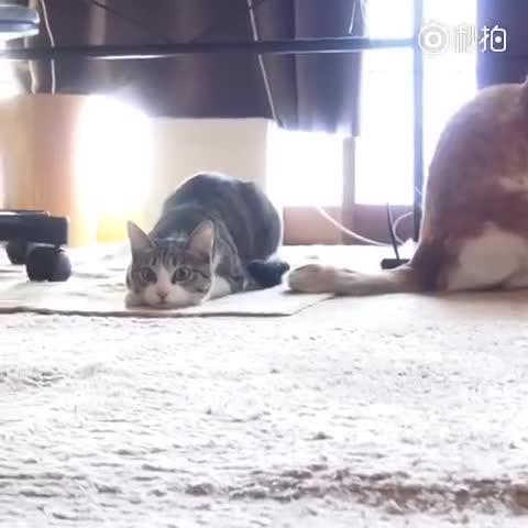 这只猫的动图经常见,视频我还是第一次看到