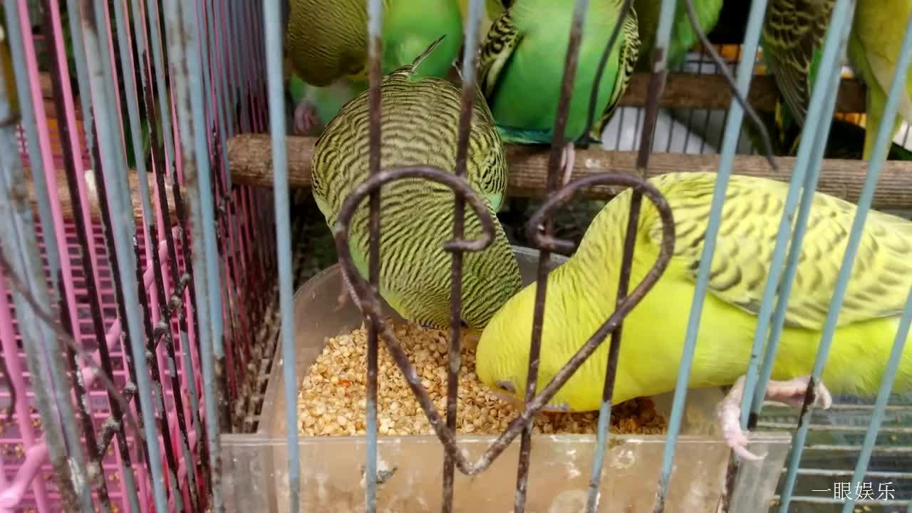 宠物市场的鹦鹉,每天都是这样光滑漂亮的样子,看到它们就喜欢