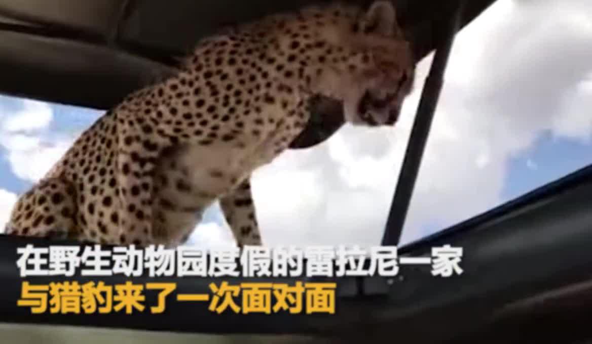 #都市新闻#开车去玩,碰到猎豹面对面