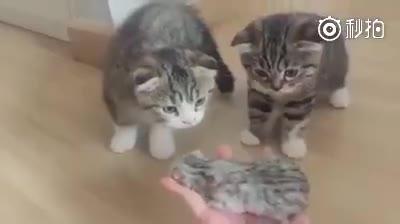 家里新来了一只小猫咪,这两只猫的神反应