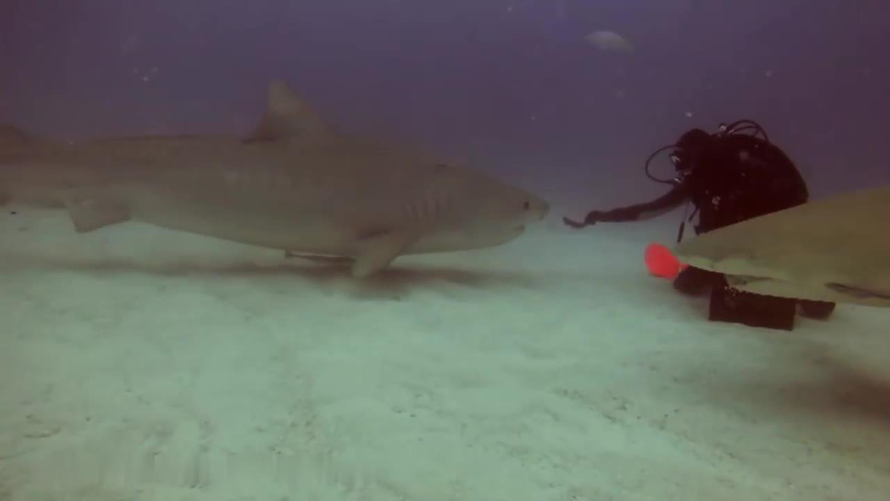 实拍:男子海底催眠鲨鱼,让人大开眼界