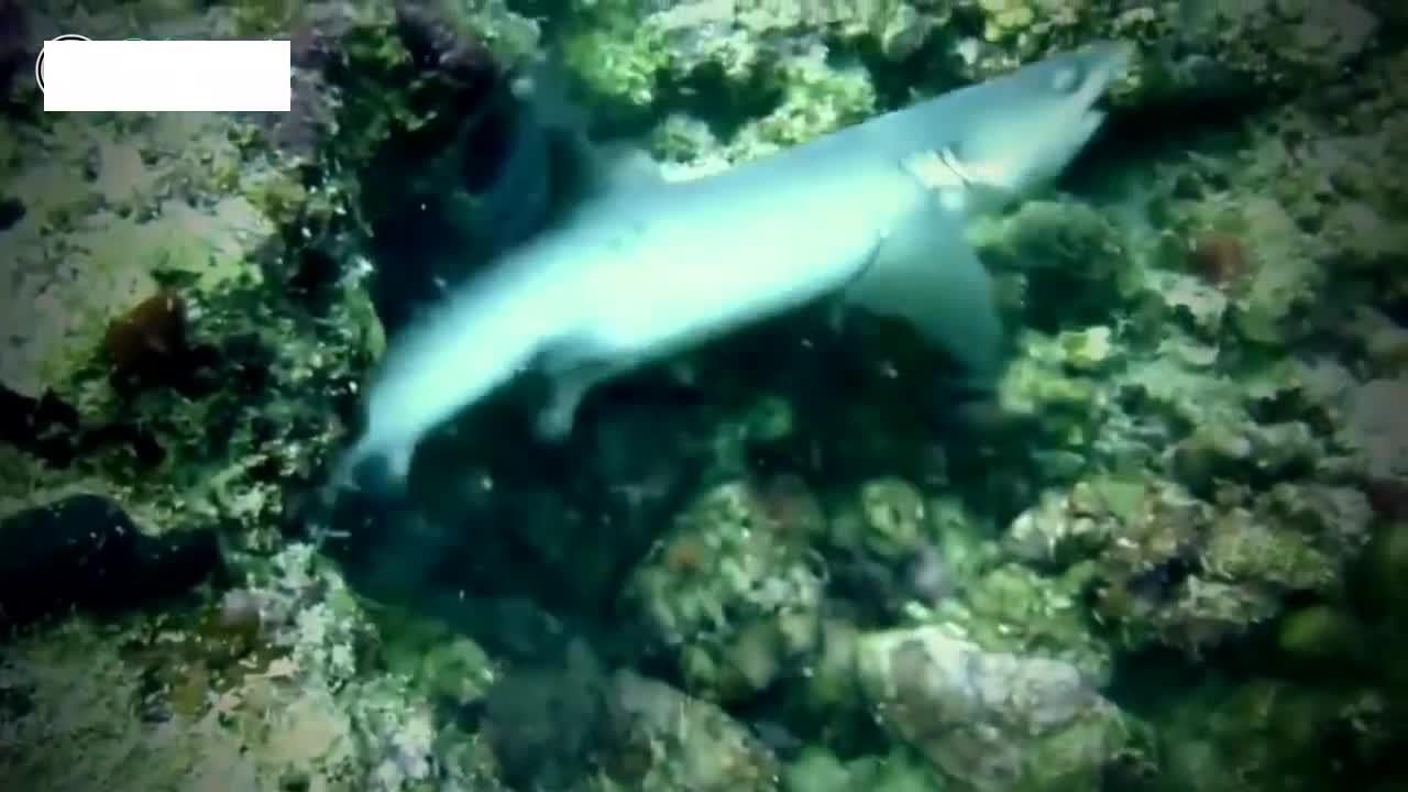 鲨鱼电鳗大战,怀疑鲨鱼是被电鳗电死的