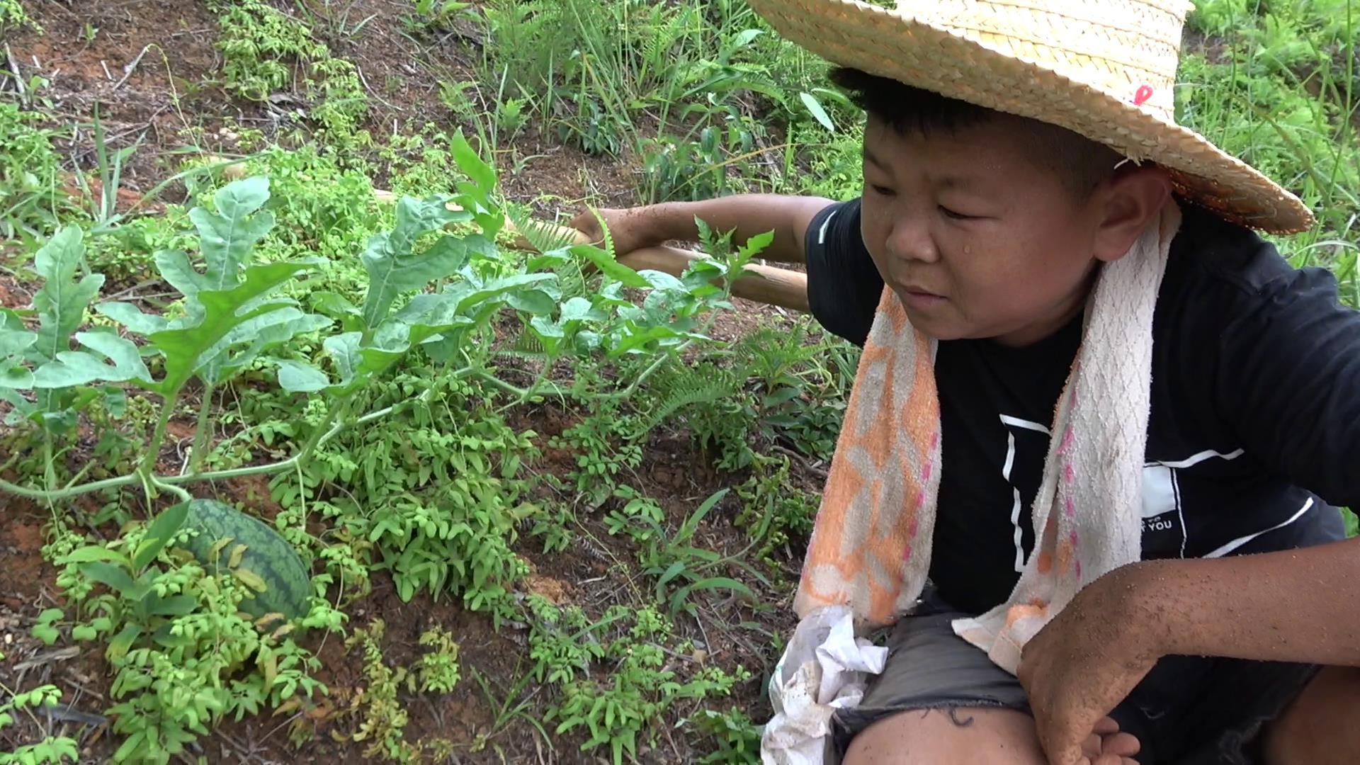 #小六种西瓜长瓜了#开心!小六种了一个多月的西瓜结果了,勤劳付出终有收获