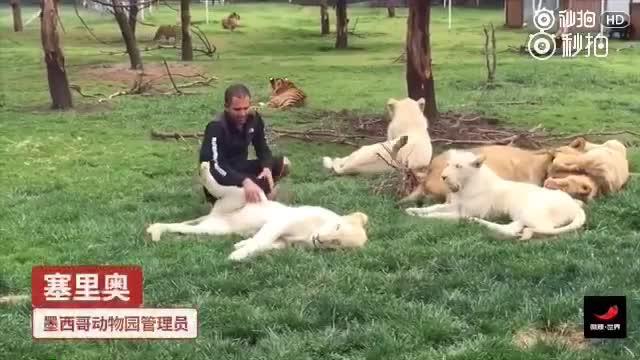 豹子要偷袭动物园管理员,被旁边的老虎半路拦截了!
